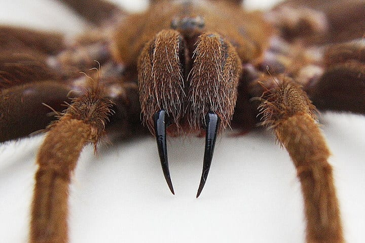 A spider with sharp fangs that poin downwards