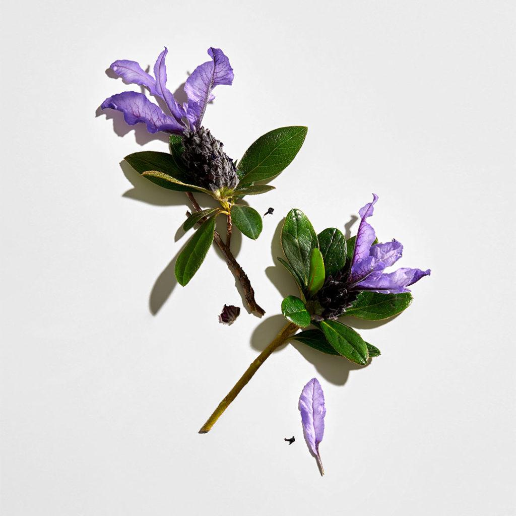 Bakuchiol a useful medicinal plant