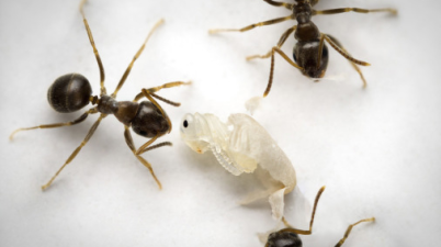 ants killing their own pupa